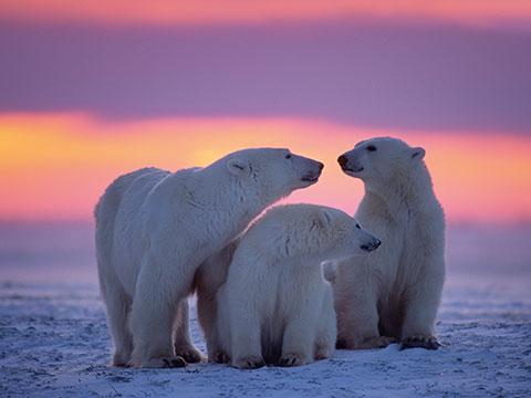 Indianer, Eisbären und Moschusochsen