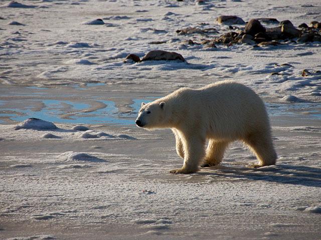 Die Eisbären von Churchill
