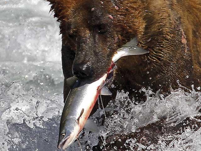 Die größten Grizzlys der Welt